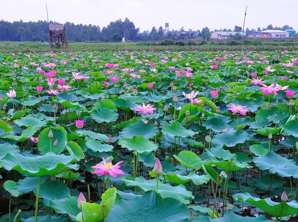 Cao Lãnh-Sa Đéc-Tràm Chim-Tam Nông-Đồng Tháp Mười-2N-Tết Dương Lịch